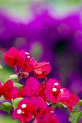 Red Bougainvillaeas Print by Ron Dahlquist