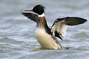 Color Stretching Prints - Red-breasted Merganser Mergus Serrator Print by Do Van Dijck