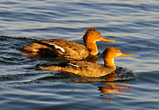 Florida Wildlife Photography Prints - Red Breasted Mergansers Print by David Lee Thompson