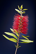 Bottle Brush Metal Prints - Red Brush Metal Print by Kelley King