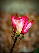 Rose Photography Posters - Red Bud Poster by Robert Bales
