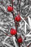 Selective Coloring Originals - Red Bud by Wendy Mogul
