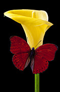 Delicate Posters - Red Butterfly and Calla Lily Poster by Garry Gay