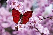 Flying Insects Posters - Red butterfly on plum  blossom branch Poster by Garry Gay