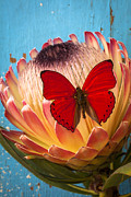 Proteas Prints - Red butterfly on Protea Print by Garry Gay