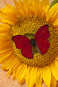 Insects Posters - Red Butterfly On Sunflower Poster by Garry Gay