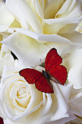 White Framed Prints - Red butterfly on white roses Framed Print by Garry Gay