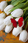 White Photo Posters - Red butterfly on white tulips Poster by Garry Gay