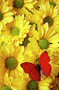 Red Wings Prints - Red butterfly on yellow mums Print by Garry Gay