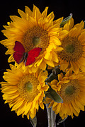 Yellows Prints - Red butterfly with four sunflowers Print by Garry Gay