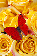 Aesthetic Posters - Red butterfly with yellow roses Poster by Garry Gay