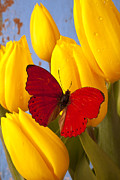 Yellows Posters - Red butterful on yellow tulips Poster by Garry Gay
