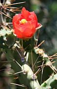 Red Cactus Flower Prints - Red Cactus Blossom Print by Christiane Schulze