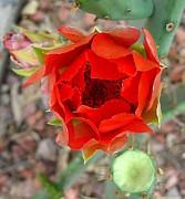 Red Cactus Flower Print by Debara Splendorio