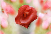 Anita Antonia Nowack - Red calla flower