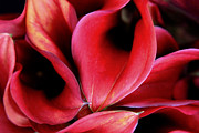 Large Flowers Prints - Red Calla Lilies Print by Tony Grider