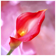 Calla Lily Photo Posters - Red Calla Lily Poster by Mike McGlothlen