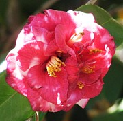 Camelia Posters - Red Camelia Poster by Therese Alcorn