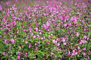 Plants Wildflowers Prints - Red Campion (silene Dioica) Print by Dr Keith Wheeler