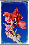 Canna Posters - Red Cana species flower close-up against blue sky Poster by Krzysztof Gapys