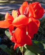 Canna Photo Originals - Red Canna Lily by Warren Thompson