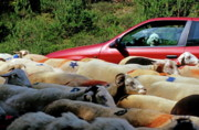 Flock Of Sheep Prints - Red car blocked by a flock of sheep Print by Sami Sarkis
