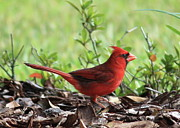Back Yard Birds Posters - Red Cardinal Poster by Carol Groenen