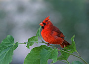 Wildlife Artwork Prints - Red Cardinal Print by Juergen Roth