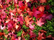 Red Maple Leaves Prints - Red Carpet Print by Donna Blackhall