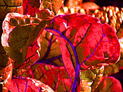 Abstracted Photo Framed Prints - Red Chard Framed Print by Rory Sagner