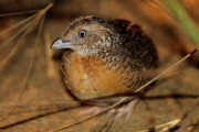 Quail Photos - Red-chested Button-quail by Bruce J Robinson