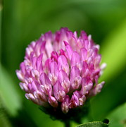 Wildflower Photography Posters - Red Clover Layered Petals Poster by Neal  Eslinger