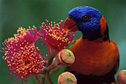 Park Bird Posters - Red-collared Lorikeet Trichoglossus Poster by Jean-Paul Ferrero