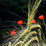 Cornfield Photos - Red Corn Poppies by Heiko Koehrer-Wagner