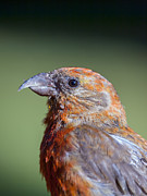 Crossbill Art - Red Crossbill by Derek Holzapfel