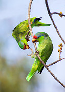Anthony Mercieca and Photo Researchers - Red-Crowned Amazon Pair