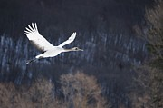 Mid-air Photo Posters - Red Crowned Crane Poster by Alexandre Shimoishi