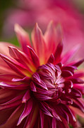 Red Bud Posters - Red Dahlia Radiance Poster by Mike Reid