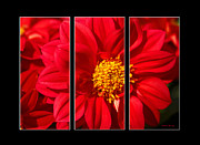 Trio Framed Prints - Red Dahlia Triptych Framed Print by Cheryl Young