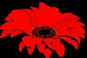 Black Top Digital Art Prints - Red Daisy On Black Background Print by Marsha Heiken
