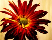 Comtemporary Prints - Red Daisy On Gold Print by Marsha Heiken