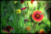 Gaillardia Photos - Red Daisy  by Saija  Lehtonen