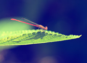 Damselfly Prints - Red Damselfly Print by Betty LaRue