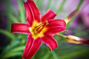 Mp-e65 Posters - Red Daylily Poster by Ryan Kelly