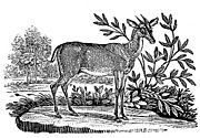 Bewick Prints - Red Deer Print by Granger