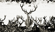 Wild Deer Posters - Red Deer of Richmond Park Poster by Bronze Riser