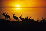 Stags Metal Prints - Red Deer Stags Metal Print by David Aubrey