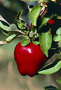 Red Delicious Prints - Red Delicious Apple On A Branch Print by Kaj R. Svensson