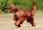 Irish Setter Posters - Red Dog Poster by Debra Raskin