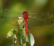 Insects And Crawley Things - Red Dragon Fly by David Lane